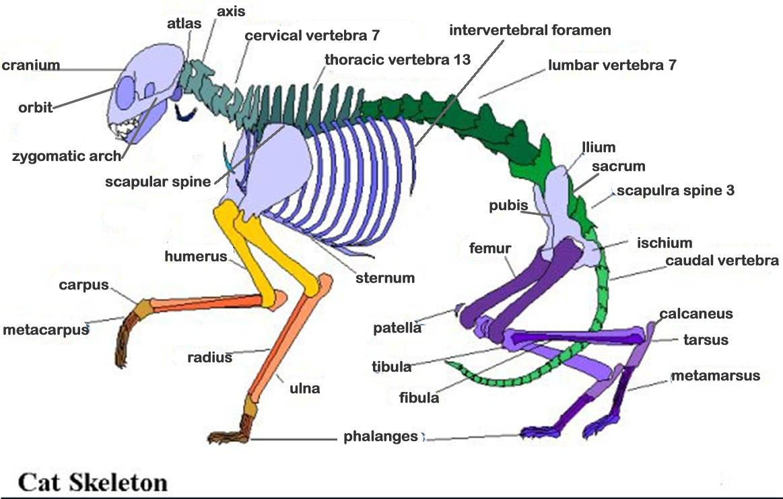 Perfect Pig Skeletal Anatomy Pattern - Human Anatomy Images ...