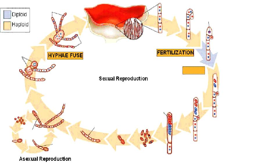 Peziza asexual reproduction pictures